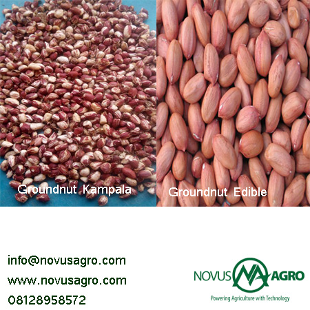 groundnut 1