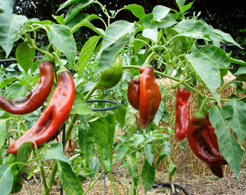 PEPPER-Analysis and Price information – Novus Agro